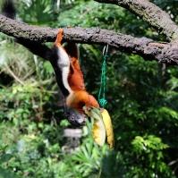 Écureuil arboricole de Prévost